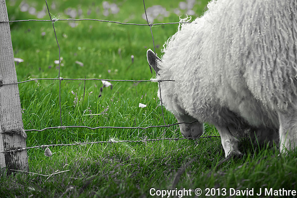 The Grass is Always Greener on the Other Side of the Fence. Sheep grazing on the summer pastures in Vestmannaeyjar, Iceland. Image taken with a Nikon D4 camera and 80-400 mm VRII lens (ISO 800, 400 mm, f/9, 1/500 sec). Nikonians Iceland Photo Adventure Tour. (David J Mathre)