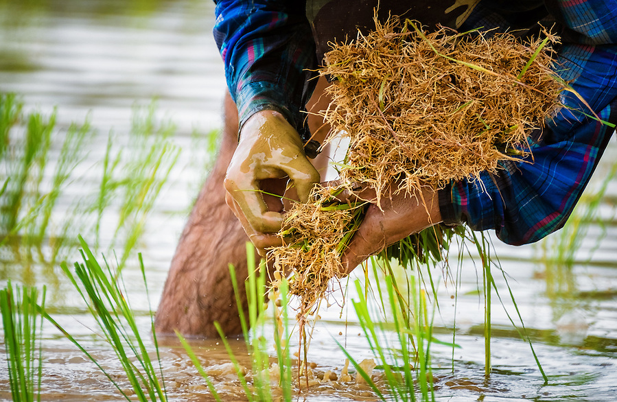 Planting Rice in Nakhon Nayok, Thailand PHOTO BY LEE CRAKER (Lee Craker, Lee Craker/Lee Craker)