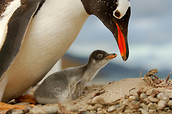 Dieses Eselspinguin Küken(Pygoscelis papua) ist nur wenige Tage alt und hat auf der Schnabelspitze noch den Eizahn. | This Gentoo Penguin chick (Pygoscelis papua) is only a few days old and the egg tooth on the tip of the beak is still present. (Solvin Zankl)
