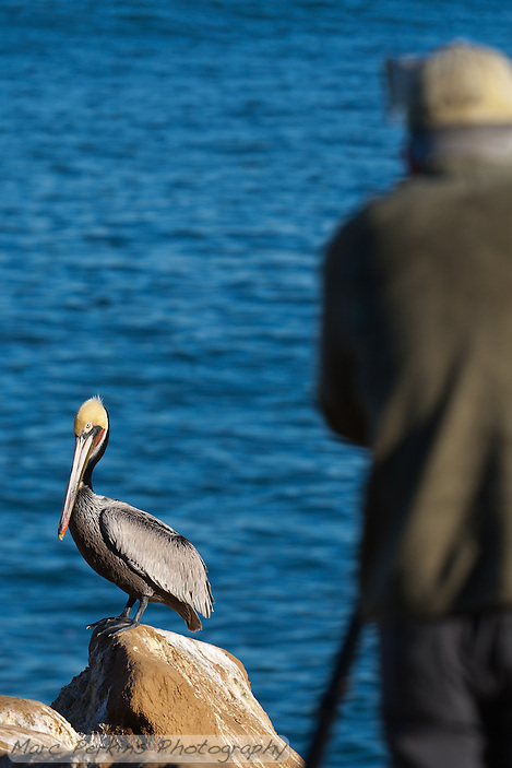 A California brown pelican (Pelecanus occidentalis californicus) standing on a rock with a photographer blurred out of focus in the foreground, both of which are standing in front of a  peaceful blue ocean.  The photographer is Greg Russell of Alpenglow Images (http://www.alpenglowimagesphotography.com/). (Marc C. Perkins)