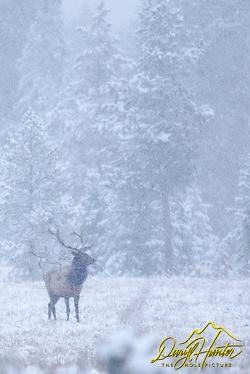 Bull elk, snowstorm, grand teton national park, jackson hole, wyoming (and his 35mm's and headed to Jackson Hole Wyoming. Besides selling photography Daryl also publishes the Greater Yellowstone Resource Guide www.greater-yellowstone.com.)