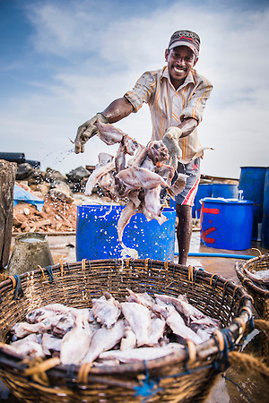 Fisherman working in Negombo fish market (Lellama), Sri Lanka, Asia. This is a photo of a fisherman working in Negombo fish market (Lellama), Sri Lanka, Asia. Negombo fish market, known as Lellama is the second biggest fish market is Sri Lanka.