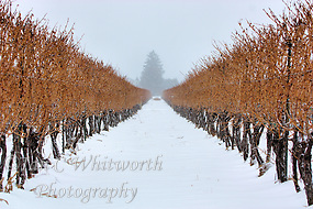 A view between the vines during a snowfall at a Niagara on the Lake vineyard (Ian C Whitworth)