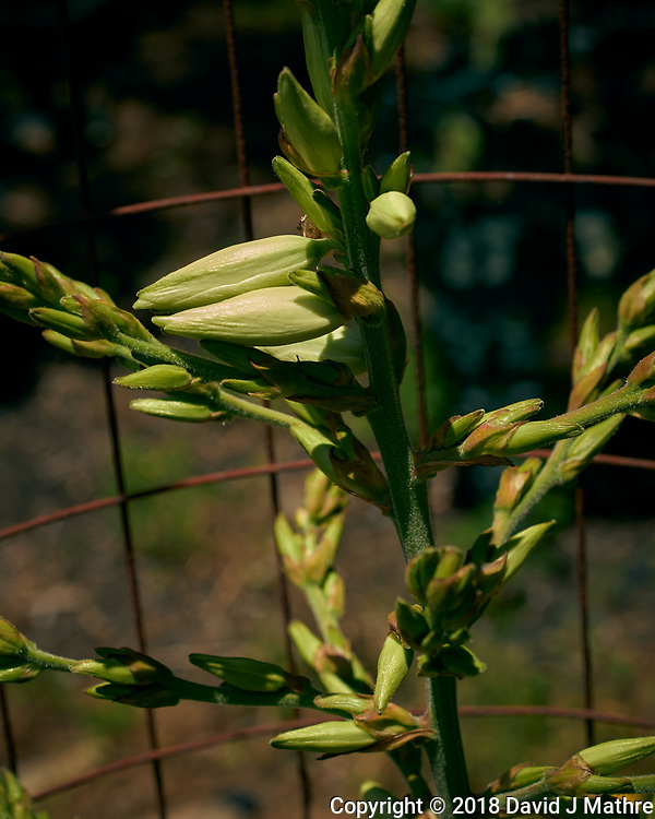 Yucca Plant Flowers About to Open. Image taken with a Leica TL2 camera and 60 mm f/2.8 macro lens. (David J Mathre)