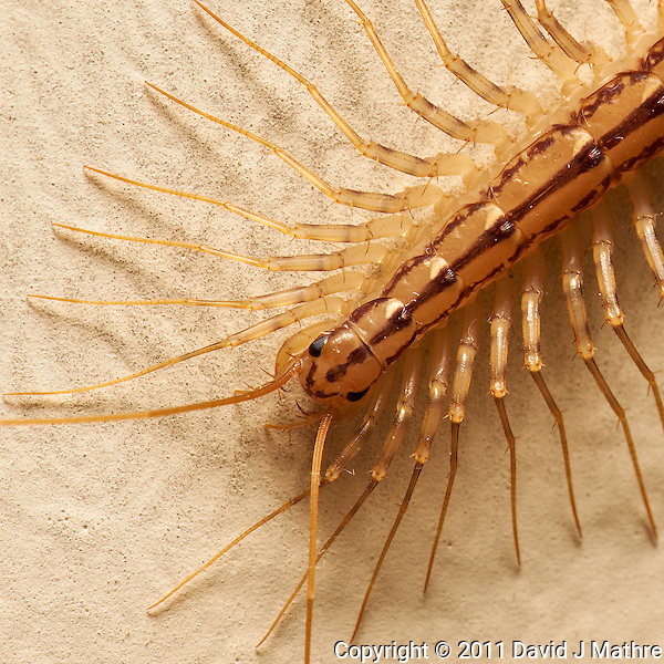 Creepy Crawly. Scutigera Coleoptrata (House Centipede) -- Not a Silverfish. Image taken with a Nikon D3x and 105 mm f/2.8 VR Macro (ISO 100, 105 mm, f/16, 1/60 sec) with SB-900 Flash. Raw image processed with Capture One Pro 6, Focus Magic, and Photoshop CS5. (David J Mathre)