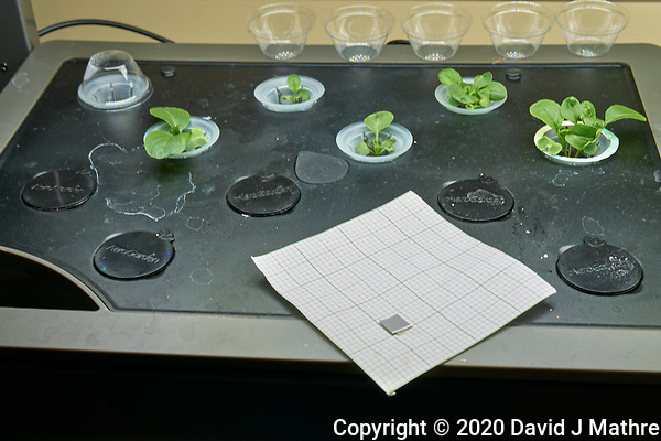 AeroGarden Farm 08-Left. Positions 01-06 Mustard at 12 days. Image taken with a Leica TL-2 camera and 35 mm f/1.4 lens (ISO 100, 35 mm, f/8, 1/30 sec). (DAVID J MATHRE)