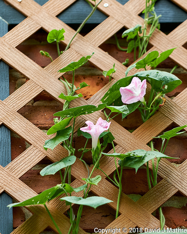 Morning Glory Blooms on the Chimney Trellis. Image taken with a Fuji X-H1 camera and 80 mm f/2.8 macro lens. (DAVID J MATHRE)