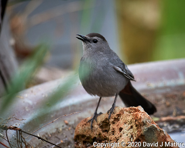 Gray Catbird. Image taken with a Nikon D5 camera and 600 mm f/4 VR telephoto lens (ISO 1100, 600 mm, f/5.6, 1/1250 sec). (DAVID J MATHRE)