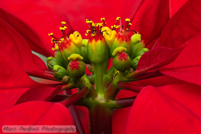 A closeup of a poinsettia flower cluster from the side.  Many people confuse the bracts (red leaves) with the actual flowers; they're quite different.   This macro shot shows multiple pseudanthia surrounded by a sea of red bracts (colored leaves associated with a flower).  The flowers themselves are called cyanthia; the green tissue surrounding each flower is an involucre, a cluster of bracts (leaves) fused into a cup-shaped structure that contains multiple male flowers and one female flower within it.  Emerging from the involucre you can see red filaments supporting yellow anthers on the male flowers, and you can even see some of the pollen grains.  Also emerging from each involucre you can see a number of dark-purple structures supported by short stalks (that are about a tenth of the height of the filaments; I'm not sure what these are).   The bright yellow, liquid-filled structures attached to the involucre are nectar glands filled with nectar to attract pollinators. (Marc C. Perkins)