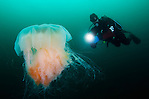 Diver and the lion's mane jellyfish (Cyanea capillata). This is the largest known species of jellyfish. Its range is confined to cold, boreal waters of the Arctic, northern Atlantic, and northern Pacific Oceans, seldom found farther south than 42°N latitude. Location: Koster National Park, Sweden (Magnus Lundgren)