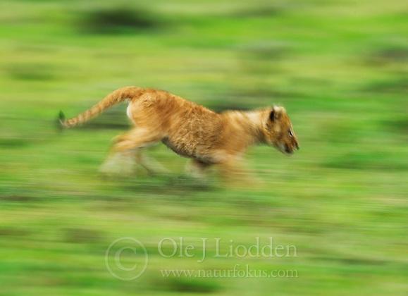Lion (Panthera leo) in Masai Mara (Ole Jørgen Liodden)