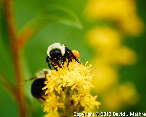 Bumble Bee with Orange Pollen Saddlebags on Blooming Ragweed. Summer Nature in New Jersey at the Sourland Mountain Preserve. Image taken with a Nikon 1 V2 + FT1 + 70-300 mm VR lens (ISO 500, 300 mm, f/8, 1/500 sec). [FOV Equivalent to ~ 810 mm on a 35 mm image sensor]. (David J Mathre)