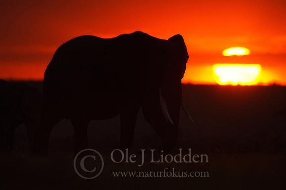 African Elephant (Loxodonta africana) in Masain Mara, Kenya (Ole Jørgen Liodden)