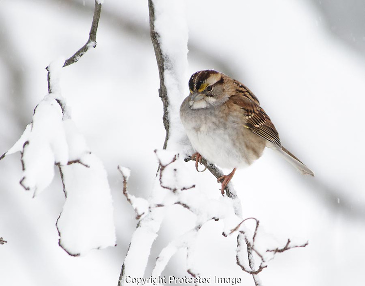 The snow was coming down heavily and the birds were actively looking for food.  This sparrow landed on the branch knocking snow from it and waited to drop down into the feeding flock. (G.T. Bancroft)