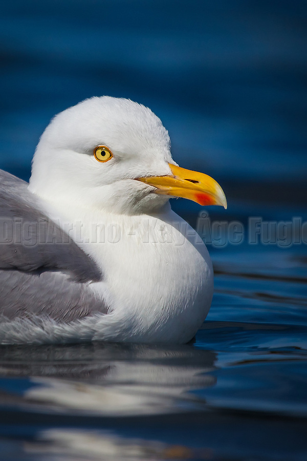 Seagull with a twinkle in his eye | Måke med glimt i øyet (Kay-Åge Fugledal)
