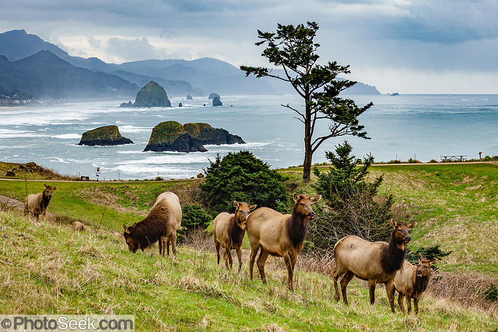 Roosevelt elk (Cervus canadensis roosevelti) graze in winter at Ecola State Park, on the Oregon coast, USA. Behind the elk, various sea stacks rise from the Pacific Ocean, including nearby Bird Rocks and Haystack Rock offshore from Cannon Beach. (© Tom Dempsey / PhotoSeek.com)