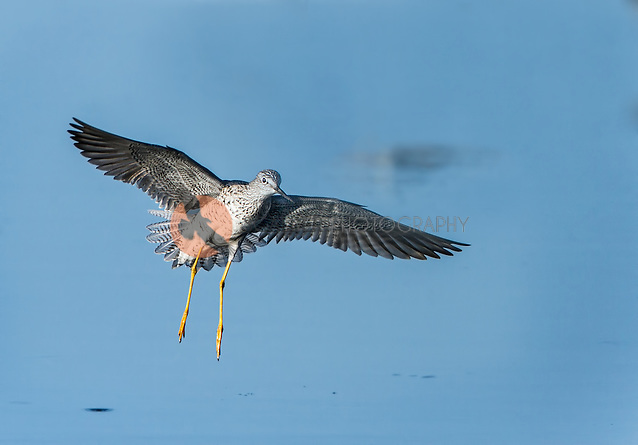 Lesser Yellowlegs landing in water at Merritt Island (Sandra Calderbank, sandra calderbank)