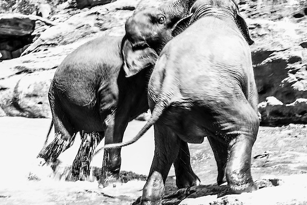 This is a black and white photo of elephants playing at Pinnawala Elephant Orphanage near Kegalle in the Hill Country of Sri Lanka, Asia.