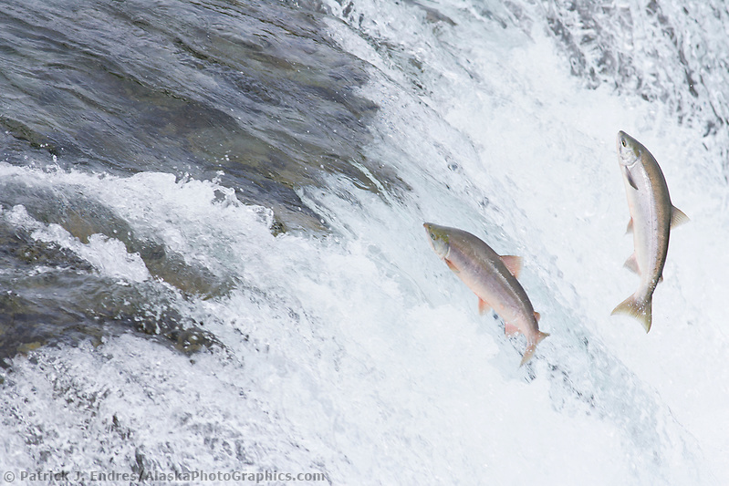 "Red salmon ""sockeye"" leap up the falls of Brooks River. (Patrick J. Endres / AlaskaPhotoGraphics.com)"