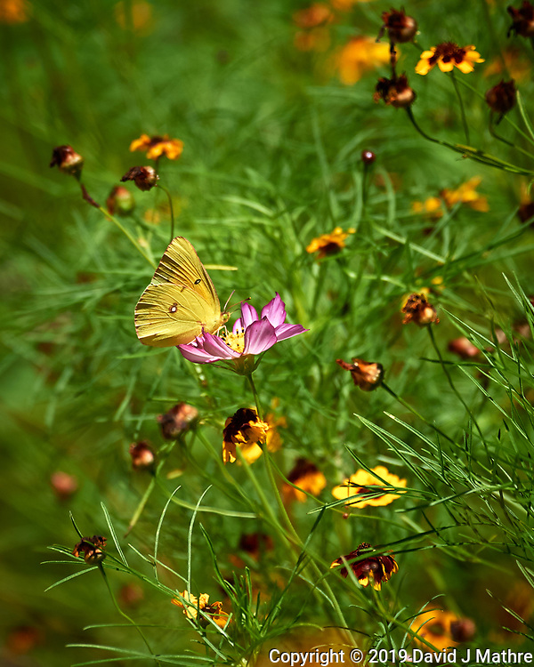 Orange Sulfur Butterfly (Colias eurytheme). Image taken with a Nikon D5 camera and 80-400 mm VRII lens (DAVID J MATHRE)