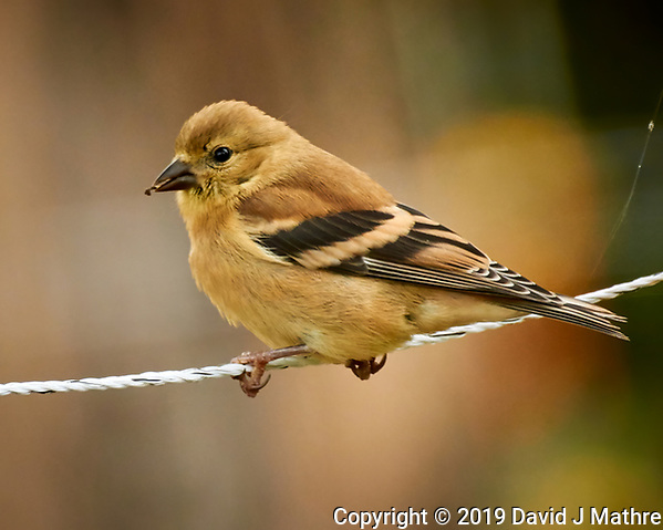 Immature Goldfinch on wire. Image taken with a Nikon 1V3 camera and 70-300 mm VR lens (DAVID J MATHRE)