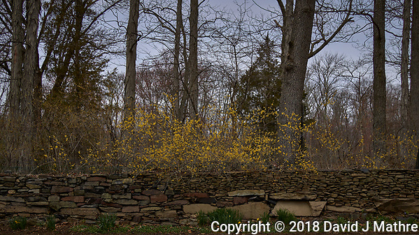 Forsythia above a stone wall. Image taken with a Leica T camera and 35 mm f/1.4 lens (ISO 100, 35 mm, f/3.2, 1/2500 sec). (David J Mathre)