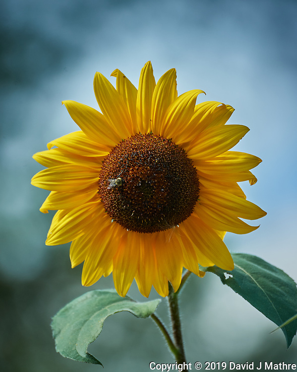 Sunflower. Image taken with a Nikon D5 camera and 80-400 mm VRII lens (ISO 450, 400 mm, f/5.6, 1/800 sec). (DAVID J MATHRE)