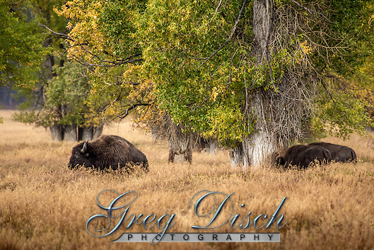 Bison in the Mormon Row Historic District in Teton National Park, Wyoming. (Greg Disch gdisch@gregdisch.com)