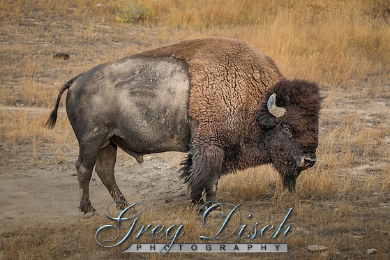Bison also know as Buffalo the largest North American land mammal, at the National Bison Range in Montana. The National Bison Range is a diverse ecosystem of grasslands, Douglas fir and ponderosa pine forests, riparian areas and ponds. The Range is one of the last intact publicly-owned intermountain native grasslands in the U.S. In addition to herds of bison, it supports populations of Rocky Mountain elk, mule deer, white-tailed deer, pronghorn, and bighorn sheep as well as coyotes, mountain lions, bears, bobcat and over 200 species of birds. President Theodore Roosevelt established the National Bison Range on May 23, 1908 when he signed legislation authorizing funds to purchase suitable land for the conservation of bison. It was the first time that Congress appropriated tax dollars to buy land specifically to conserve wildlife. The overall mission of the National Bison Range is to maintain a representative herd of bison, under reasonably natural conditions, to ensure the preservation of the species for continued public enjoyment. The original herd of bison released in 1909 was purchased with private money raised by the American Bison Society and then donated to the Refuge. Today, 350-500 bison call this refuge home. (Greg Disch gdisch@gregdisch.com)