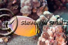 Oval Butterflyfish, Chaetodon lunulatus Quoy & Gaimard, 1825, kikakapu, Maui Hawaii (Steven W SMeltzer)