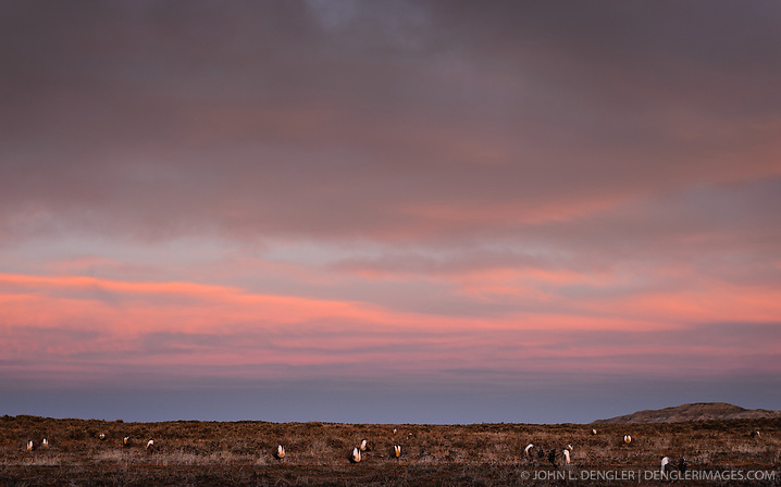 Greater sage-grouse (Centrocercus urophasianus) gather on a lek during an early morning sunrise in south-central Wyoming.  Greater sage-grouse are a lekking species. They gather at the same lek, year over year, where males put on elaborate mating displays for the attention of females. During courtship strutting displays, the males fan their starburst-like tail feathers behind them. They also make a large popping sound, created when they puff up their chests and inflate and deflate their large yellow throat sacs. Greater sage-grouse are the largest native grouse in North America, typically 30 inches in length and up to 2 feet tall. Males can weigh 4-5 pounds with hens weighing 2-3 pounds They are omnivores, eating primarily sagebrush, other soft plants and insects. Considered a keystone species for the sagebrush ecosystem, greater sage-grouse cannot live in areas without sagebrush.. The ground-dwelling birds are found in the sagebrush ecosystems of the western United States and southern Alberta and Saskatchewan in Canada. In 2015, the U.S. Fish & Wildlife Service determined that protection for the greater sage-grouse under the Endangered Species Act was no longer warranted and withdrew the species from the candidate species list. (© John L. Dengler/Dengler Images)