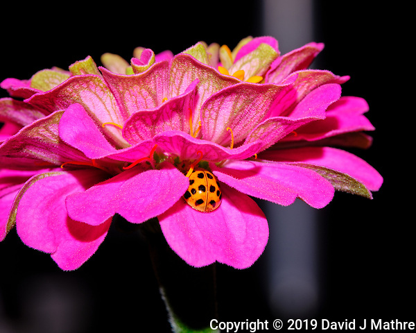 Asian Ladybeetle hiding in a Zinnia Flower. Image taken with a Fuji X-T3 camera and 80 mm f/2.8 macro lens and popup flash (ISO 160, 80 mm, f/16, 1/30 sec). (DAVID J MATHRE)