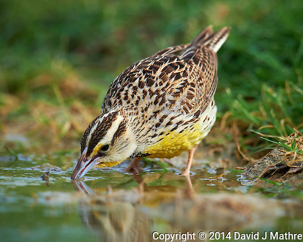 Meadowlark Drinking at a Pond. Dos Venadas Ranch in Southern Texas. Image taken with a Nikon D4 camera and 600 mm f/4 VR lens (ISO 640, 600 mm, f/5.6, 1/2000 sec). (David J Mathre)