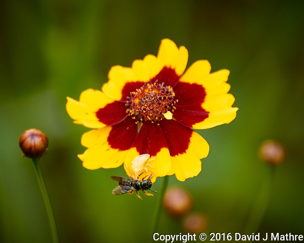 Ghostly White Spider Catches a Fly (or Bee) on a Coreopsis Flower. Backyard Summer Nature in New Jersey. Image taken with a Nikon 1 V3 camera and 70-300 mm VR lens (ISO 200, 300 mm, f/5.6, 1/50 sec). (David J Mathre)