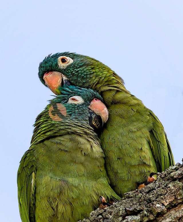 Pair of Blue-crowned parakeets, snuggling (SandraCalderbank, sandra calderbank)