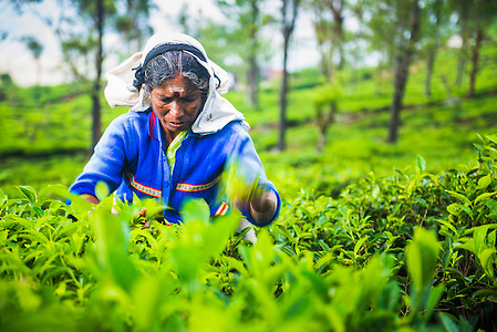 Tea picker in a tea plantation in the Sri Lanka Central Highlands and Tea Country, Sri Lanka, Asia. This is a photo of a tea picker in a tea plantation in the Sri Lanka Central Highlands and Tea Country, Sri Lanka, Asia. Sri Lanka Central Highlands, which became a UNESCO World Heritage Site in 2010 is bursting with bright green tea plantations, each speckled with tea pickers picking tea from dawn until dusk.