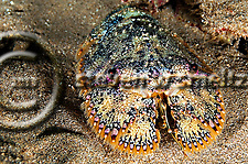 Brown Slipper Lobster, Parribacus antarcticus, Maui Hawaii (Steven Smeltzer)