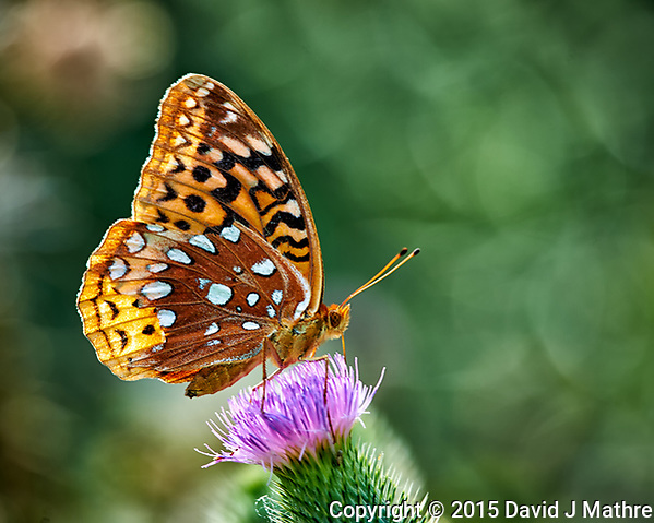 Great Spangled Fritillary feeding on on Thistle flowers. Image taken with a Nikon D4 camera and 80-400 mm VR lens. (David J Mathre)