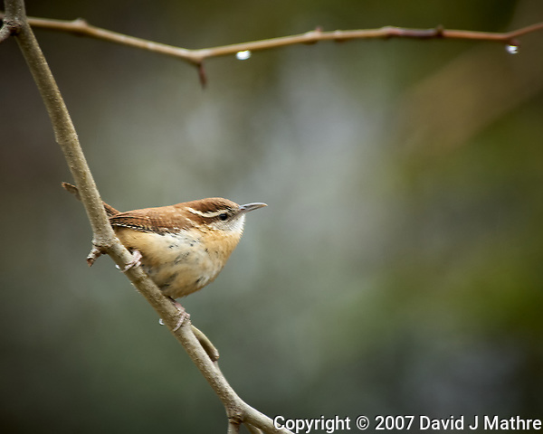 Carolina Wren. Image taken with a Nikon D2xs camera and 80-400 mm VR lens (ISO 400, 400 mm, f/5.6, 1/00 sec) (David J Mathre)