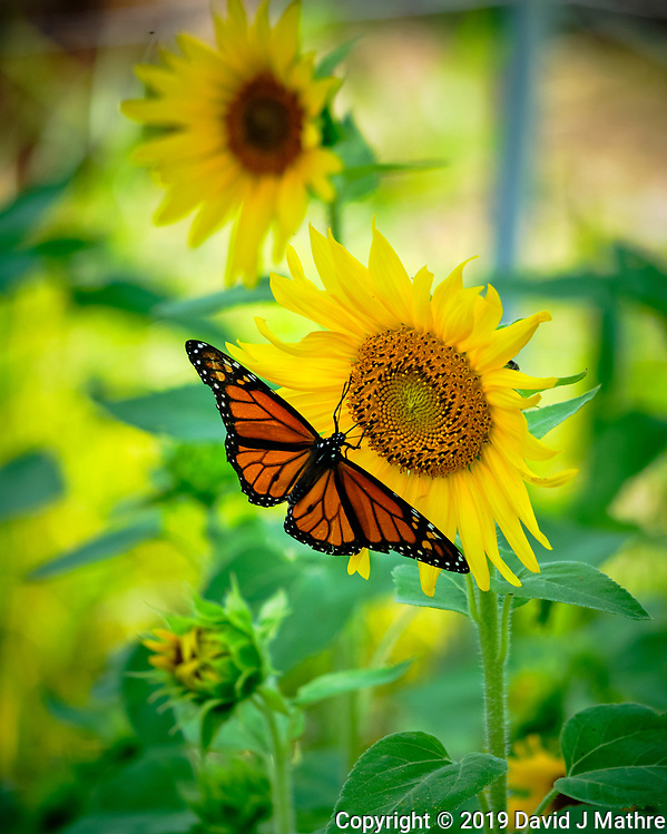 Monarch butterfly on a Sunflower Image taken with a Fuji X-H1 camera and 80 mm f/2.8 macro lens + 1.4x teleconverter (DAVID J MATHRE)