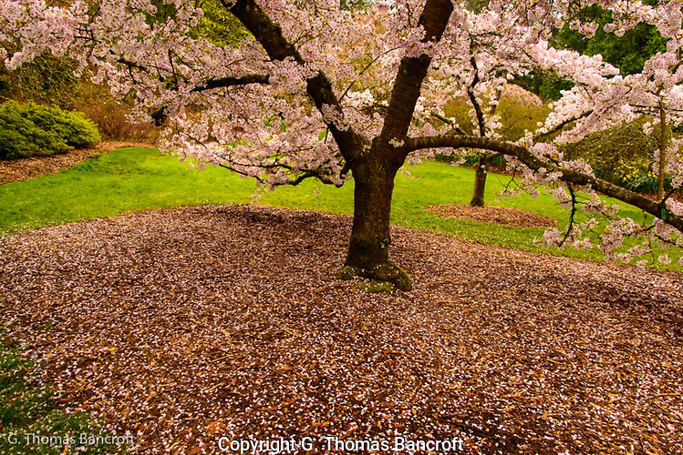 Flower pedals floated slowly down to join those already blanketing the ground under this cherry tree, (G. Thomas Bancroft)