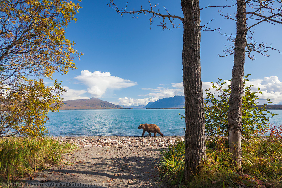 Brown bear walks along the shore of Naknek lake, Katmai National Park, southwest, Alaska. (Patrick J. Endres / AlaskaPhotoGraphics.com)