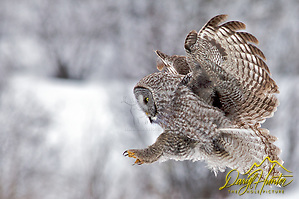 "Great Grey Owl, in flight, winter, landing, Jackson Hole, Wyoming (Daryl Hunter's ""The Hole Picture"" � Daryl L. Hunter has been photographing the Yellowstone Region since 1987, when he packed up his view camera, Pentex 6X7, and his 35mm�s and headed to Jackson Hole Wyoming. Besides selling photography Daryl also publ/Daryl L. Hunter)"