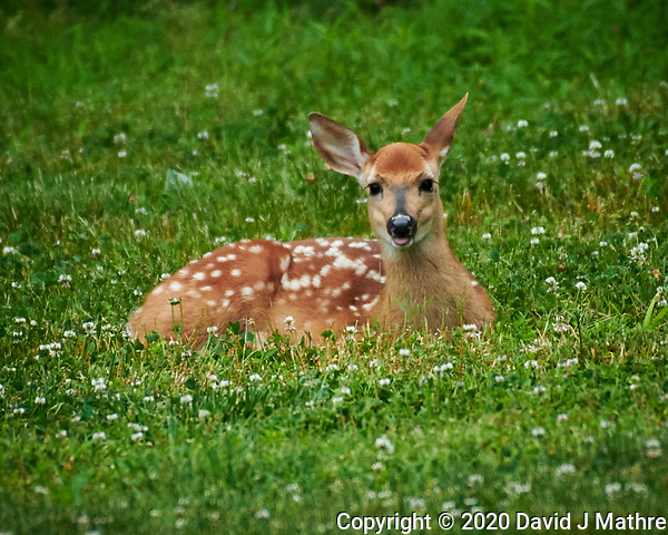 Spotted Fawns  at Daycare. Image taken with a Nikon D850 camera and 200-500 mm f/4 lens (DAVID J MATHRE)