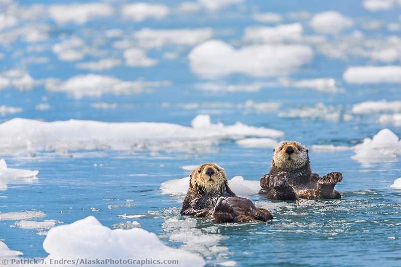 Sea otters swim among floating ice bergs, Harriman Fjord, Prince William Sound, southcentral, Alaska. (Patrick J. Endres / AlaskaPhotoGraphics.com)