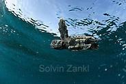 Loggerhead turtle (Caretta caretta) | Unechte Karettschildkröte (Caretta caretta) (Solvin Zankl)