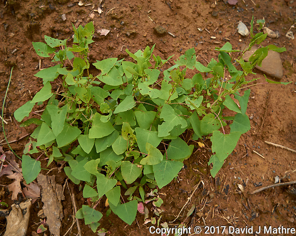 "My most hated weed -- the ""Mile a Minute"" vine. Backyard spring nature in New Jersey. Image taken with a Leica T camera and 18-56 mm lens (ISO 100, 21 mm, f/5, 1/250 sec). (David J Mathre)"