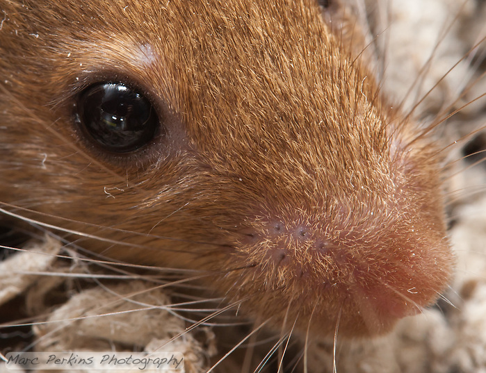 """A closely-cropped version of my """"Mouse face"""" image, focusing on the eye and nose region.  In this image you can clearly see the mouse's eyelashes (both above and below her eye), as well as the whisker attachment points.  Interestingly, some of her whiskers are clearly two strands of hair held closely together. (Marc C. Perkins)"""