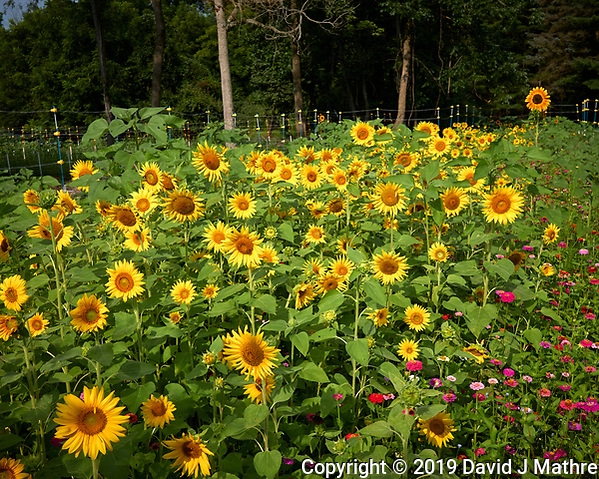 Sunflowers. Image taken with a Leica CL camera and 23 mm f/2 lens (DAVID J MATHRE)