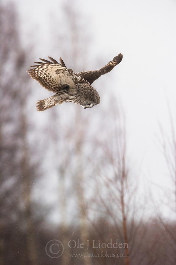 Great Grey Owl (Strix nebulosa), Lappland, Finland (Ole Jørgen Liodden)